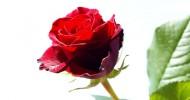 rosas_home